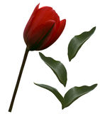 Red tulip flower and green leafs  on a white isolated background with clipping path.   Closeup.  no shadows.  For design. Side vie. W.  Nature Royalty Free Stock Photography
