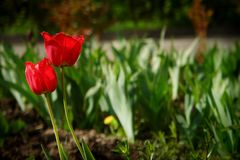 Red tulip flower in a green spring garden. Red tulip flower in a green spring garden Stock Photos