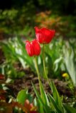 Red tulip flower in a green spring garden. Red tulip flower in a green spring garden Royalty Free Stock Image
