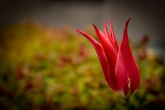 Red tulip flower in a green spring park. Red tulip flower in a green spring park Royalty Free Stock Image