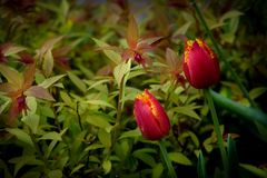 Red tulip flower in a green spring park. Red tulip flower in a green spring park Royalty Free Stock Images