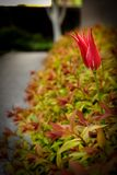 Red tulip flower in a green spring park. Red tulip flower in a green spring park Royalty Free Stock Photos