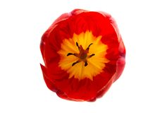 Red tulip flower isolated. On white background stock photos