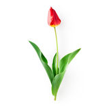 Red tulip flower Royalty Free Stock Photos