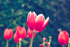 Red tulip flower look vintage Royalty Free Stock Images