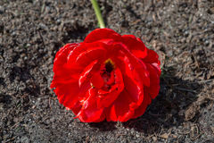 Red tulip flower lying on the ground Royalty Free Stock Photo