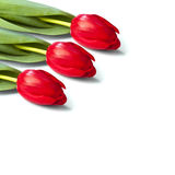 Red tulip flower on a stem. With leaves lies on white background royalty free stock images