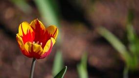 Red tulip flower summer garden day light. Red tulip flower summer season garden day light stock video footage