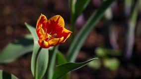Red tulip flower summer garden day light. Red tulip flower summer season garden day light stock footage