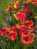 Red Tulip Flower Tulipa. Red tulip in a flower bed, Tulipa Stock Photo