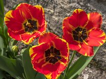 Red Tulip Flower Tulipa. Red tulip in a flower bed, Tulipa Royalty Free Stock Photos