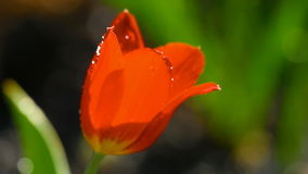Red tulip flower under irrgation stream. Drops on the petals of a flower Red Tulip, slow motion stock video