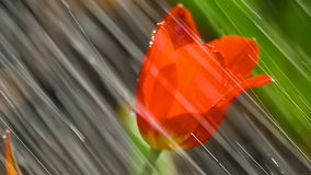 Red tulip flower under rain stock footage