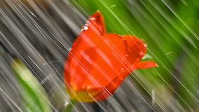 Red tulip flower under rain stock video footage