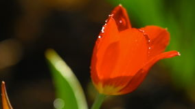 Red tulip flower under rain. Raindrops on the petals of a flower Red Tulip, slow motion stock footage