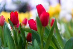 Red tulip for flower Valentine day in the garden. Beautiful bouquet of tulips. colorful tulips. tulips in spring at Nature background Stock Image