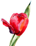 Red Tulip flower Royalty Free Stock Images