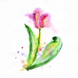 Red Tulip flower, watercolor illustration Stock Image