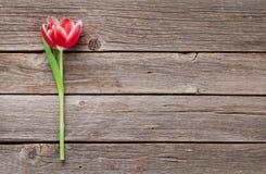 Red tulip flower Stock Photo