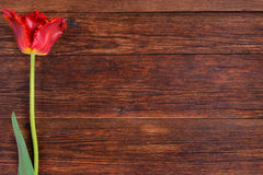 Red tulip flower on wooden table background with copy space. Stock Photography