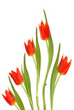 Red Tulip Flowers. In abstract design isolated over white background Royalty Free Stock Photo