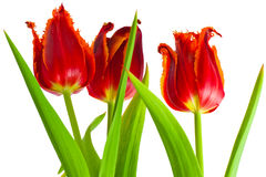 Red Tulip flowers. With white background Stock Image