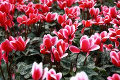 Red Tulip Flowers. Many small 'Red Tulip Flowers' in the garden Stock Photography