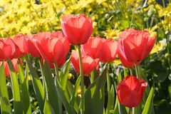 Red tulip flowers. A shot of red tulip flowers Stock Photo