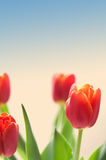 Red tulip flowers against toned blue sky, copy space Stock Photos