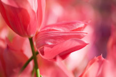 Red tulip flowers artistic concept. Spring flower still life background. soft focus and blurry petals Royalty Free Stock Images