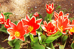 Red tulip flowers on the bedflower Royalty Free Stock Image