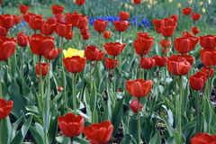 Red tulip flowers in bloom. Scenic background of predominately red tulip flowers in bloom royalty free stock photos