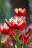 Red Tulip flowers with bokeh Royalty Free Stock Photography