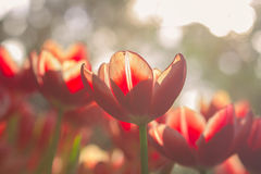 Red Tulip flowers with bokeh Stock Images