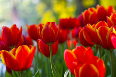 Red Tulip flowers with bokeh Royalty Free Stock Photos