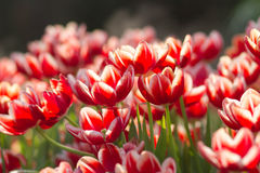 Red Tulip flowers with bokeh Royalty Free Stock Image