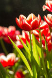 Red Tulip flowers with bokeh. Fresh tulips in warm sun light Stock Images