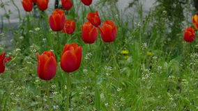 Red tulip flowers field landscape stock video