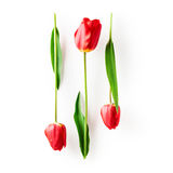 Red tulip flowers Royalty Free Stock Image