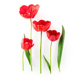 Red tulip flowers Royalty Free Stock Images
