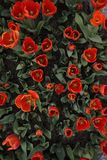 Red tulip flowers top view Stock Image
