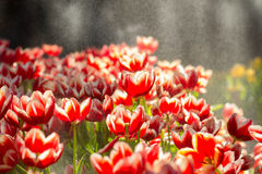 Red Tulip flowers foggy sprayed in the morning Royalty Free Stock Photo