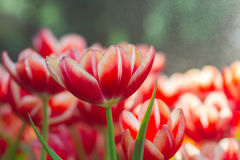 Red Tulip flowers foggy sprayed in the morning. Royalty Free Stock Photos
