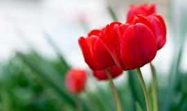 Red Tulip Flowers. In The Garden stock photo