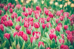 Red tulip flowers in the garden Stock Photography