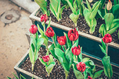 Red tulip flowers in the garden Stock Image