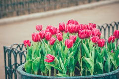 Red tulip flowers in the garden Royalty Free Stock Photos