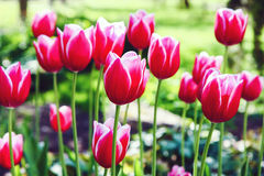 Red tulip flowers. In the garden at spring Stock Photo