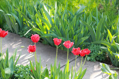Red tulip flowers in the garden Royalty Free Stock Photography