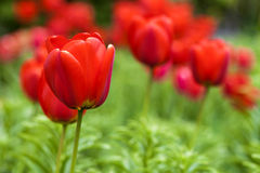 Red tulip flowers on green natural blurred background Stock Images